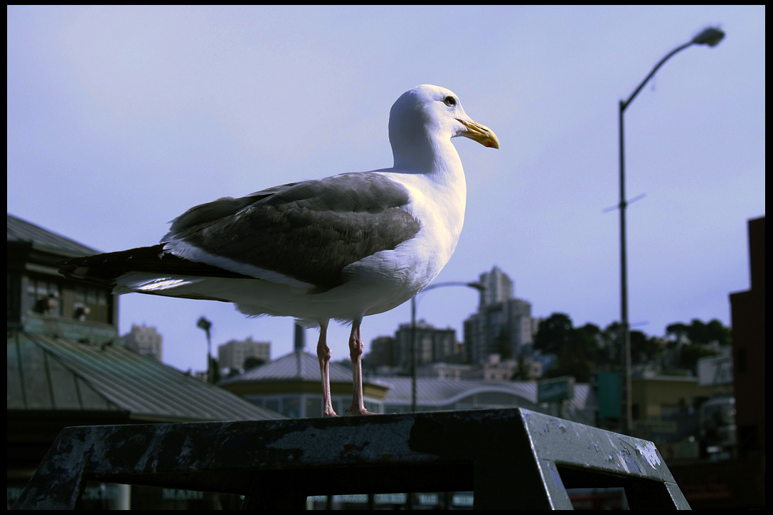 gull-san-francisco-ca-june-2009